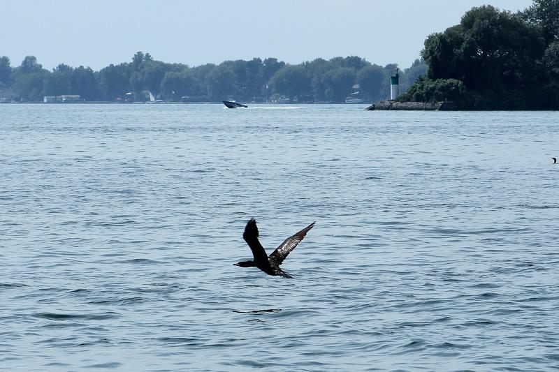 cormoran à aigrettes Cormor11