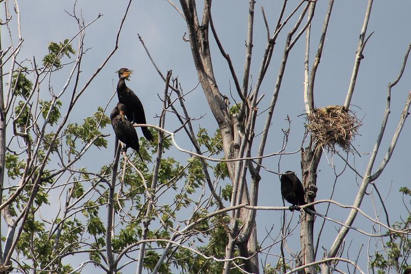 cormoran à aigrettes Cormor12