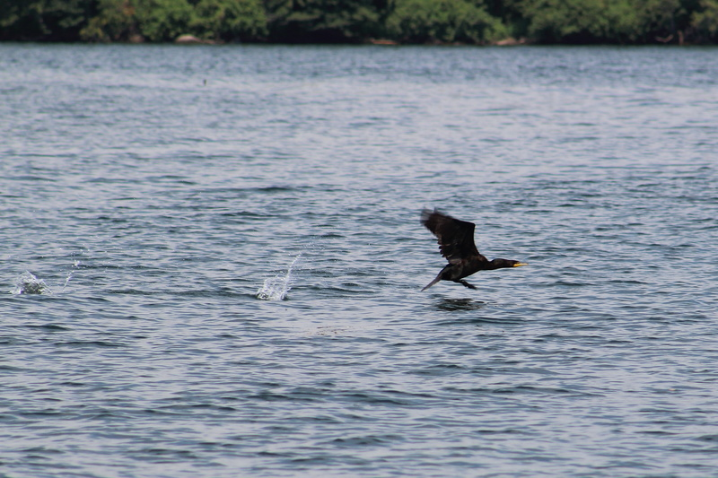 cormoran à aigrettes Cormor13