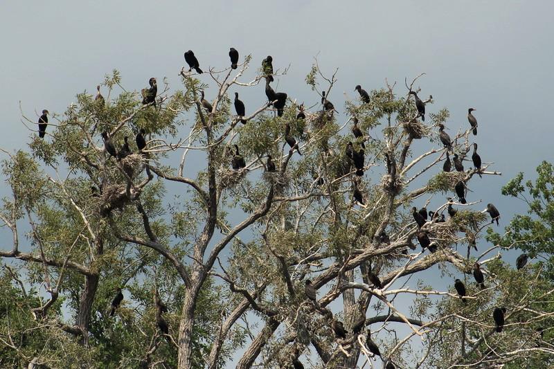 cormoran à aigrettes Cormor14