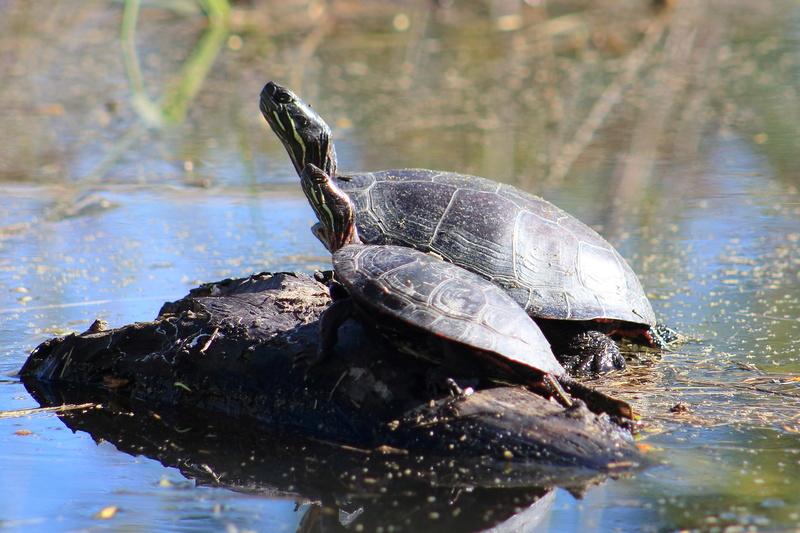 tortues peintes Tortue10