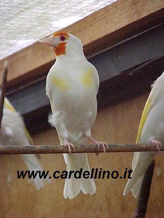 CHARDONNERET ALBINO Albino10