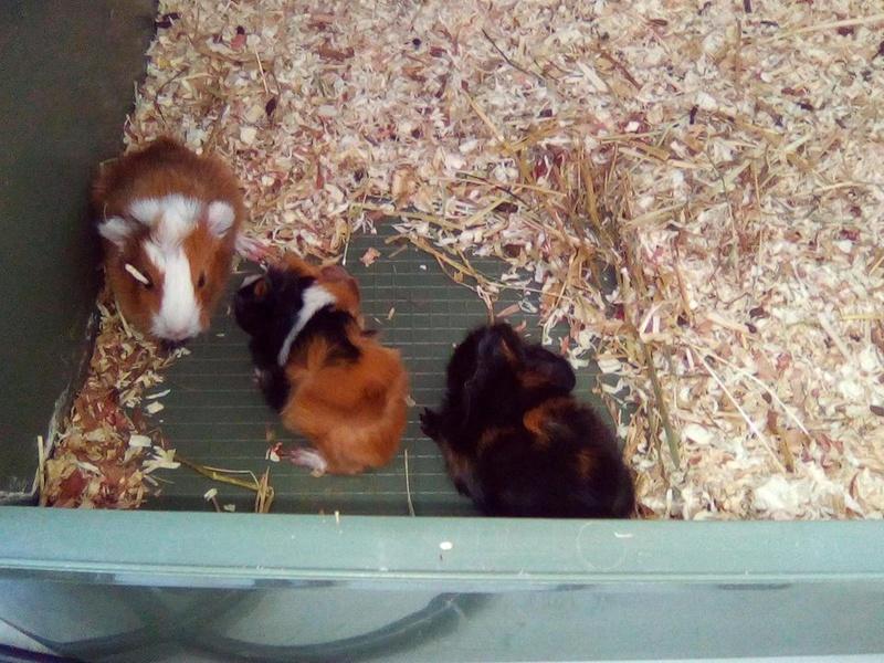 Ugent - Donne trois petits cochons d'inde Bybys_11