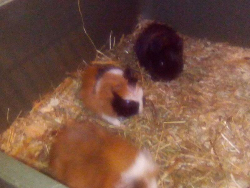 Ugent - Donne trois petits cochons d'inde Img_2010