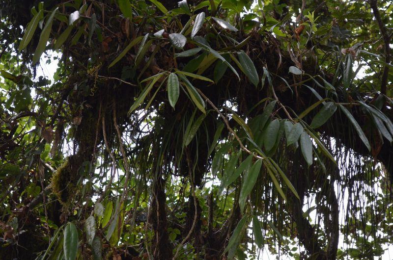 Hoya din Nepal Dsc_0110