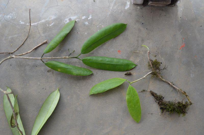Hoya din Nepal Dsc_0210