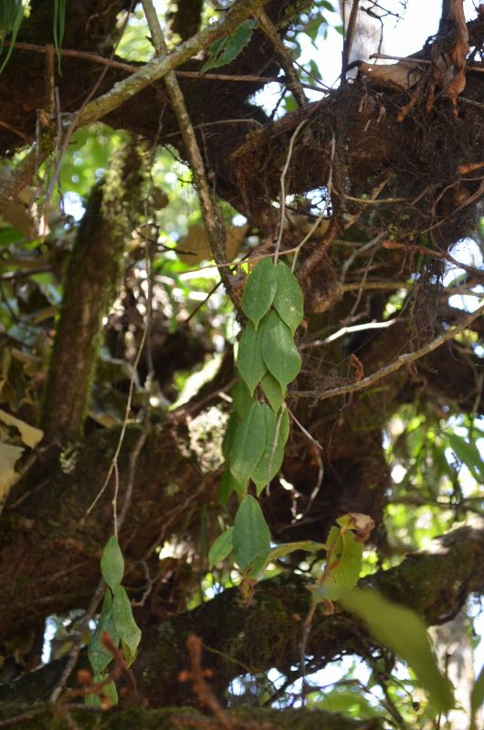 Hoya din Nepal Dsc_1210