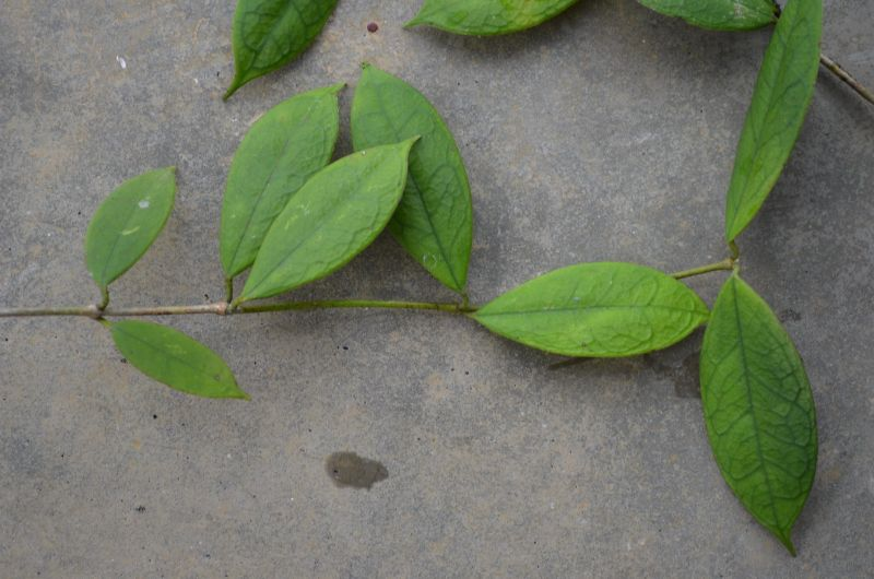 Hoya din Nepal Dsc_1910