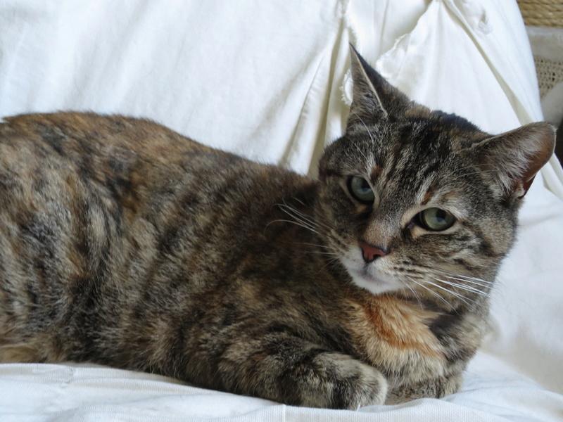 Trouvé chatte tigrée reflets roux à Colomiers Img_4220