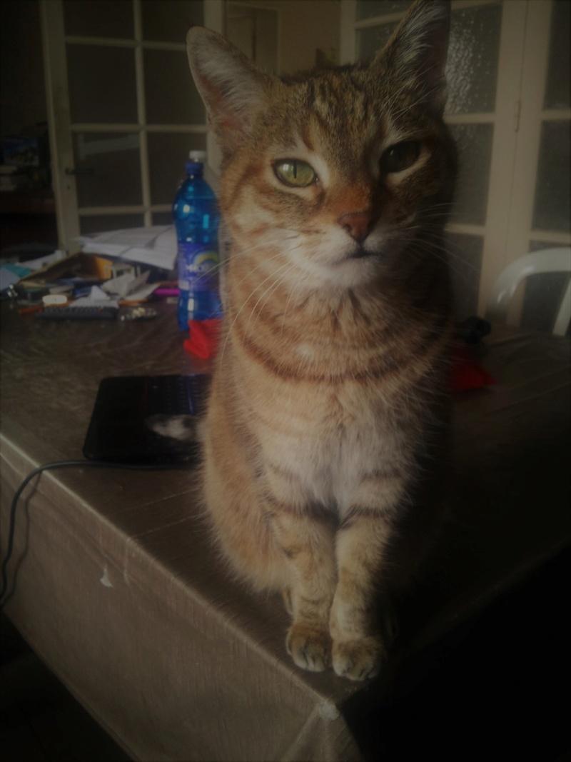 Perdue chatte tigrée grise/marron et blanche St Martin du touch Thumbn31