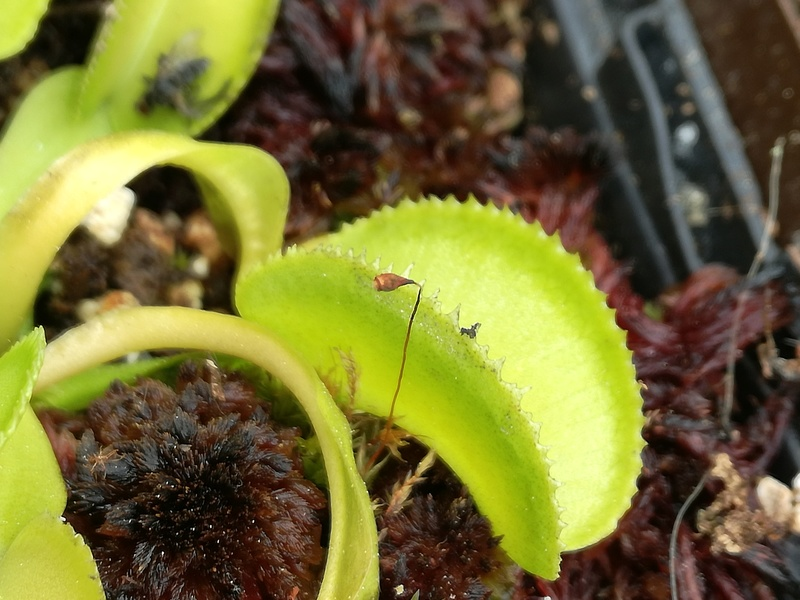 Dionaea Green Micro Teeth (Christian Klein) Img_2010