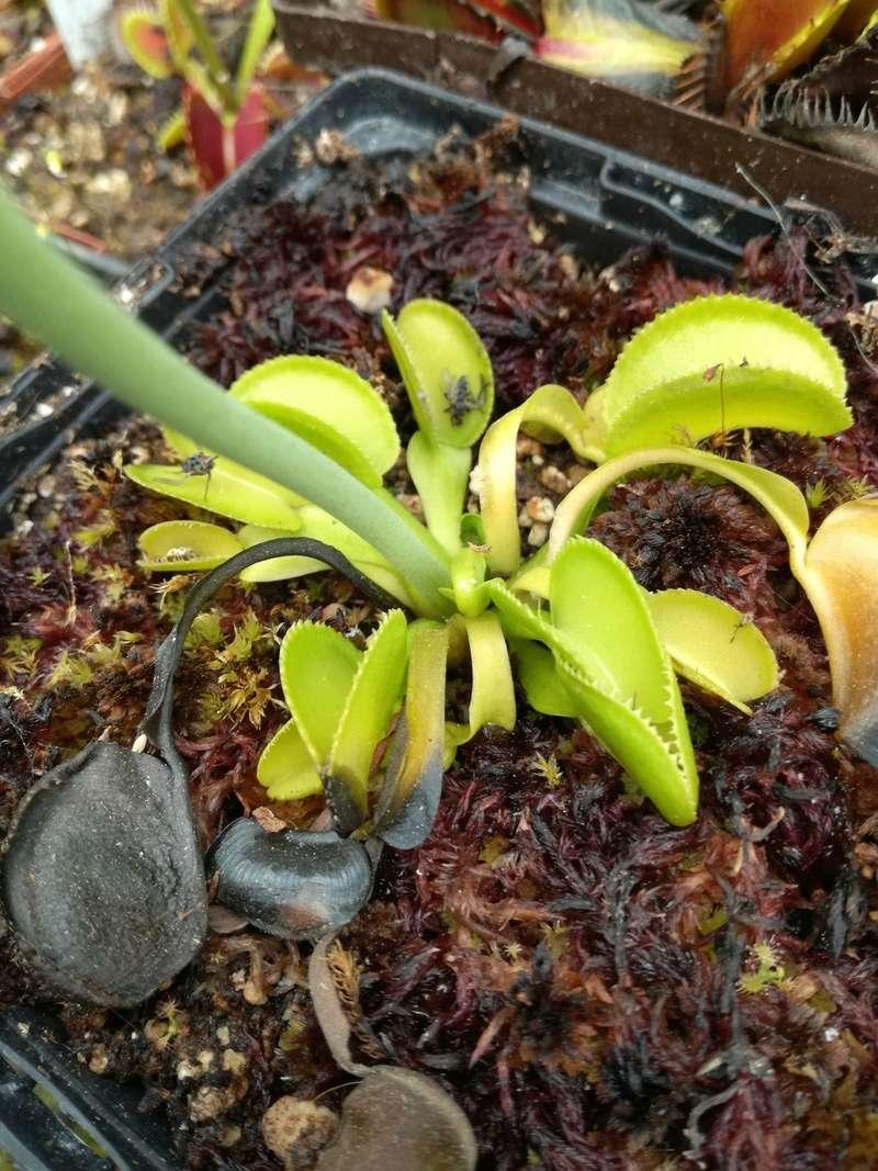 Dionaea Green Micro Teeth (Christian Klein) Img_2011