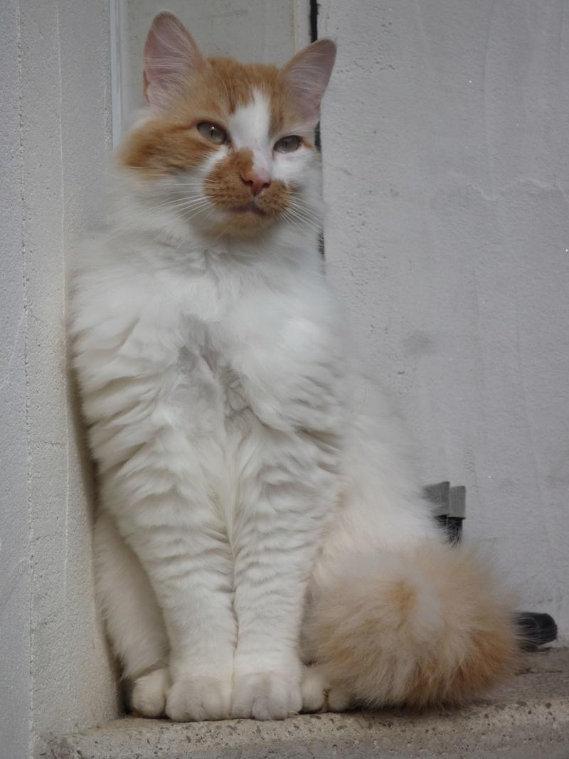Perdu chat blanc et roux à poils longs à Colomiers, quartier Cabirol Jeanno11