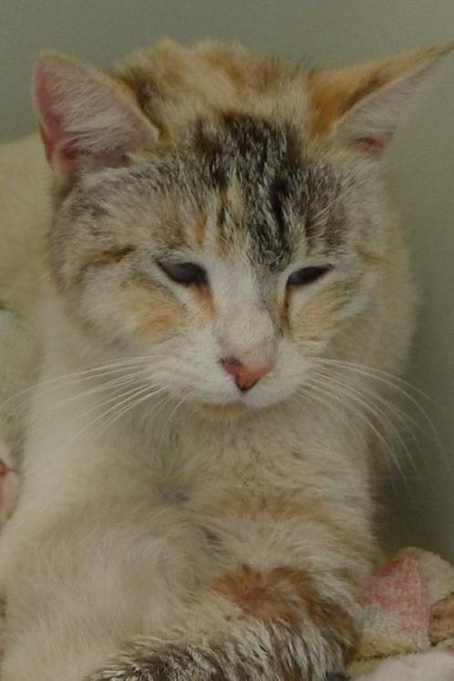 Trouvée chatte tricolore siamoisée à Colomiers Maman10