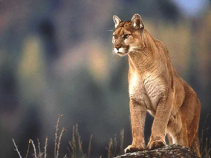 Twilight: Big cat Rp! Wild and free...where do your loyaltie Cougar10