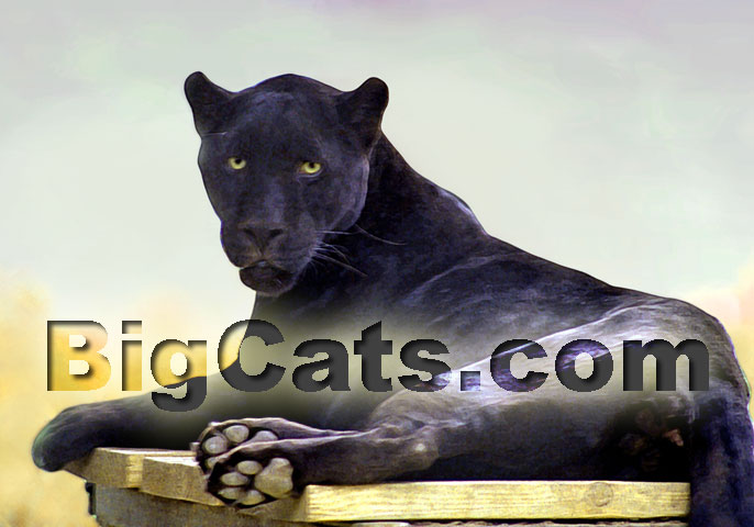 Twilight: Big cat Rp! Wild and free...where do your loyaltie Panthe10