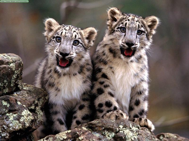 Twilight: Big cat Rp! Wild and free...where do your loyaltie Snowcu10