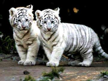 Twilight: Big cat Rp! Wild and free...where do your loyaltie Whitec10