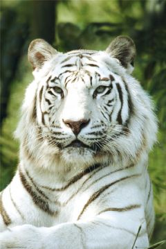 Twilight: Big cat Rp! Wild and free...where do your loyaltie Whitem10