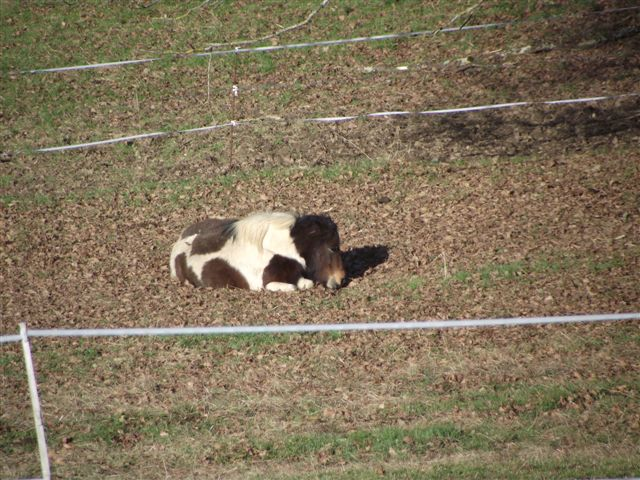 CANNELLE - ONC poney née en 2009 - adoptée en décembre 2013 par Catie Dscf6111