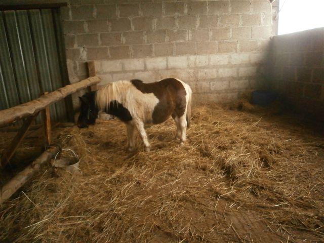 CANNELLE - ONC poney née en 2009 - adoptée en décembre 2013 par Catie Pc300012