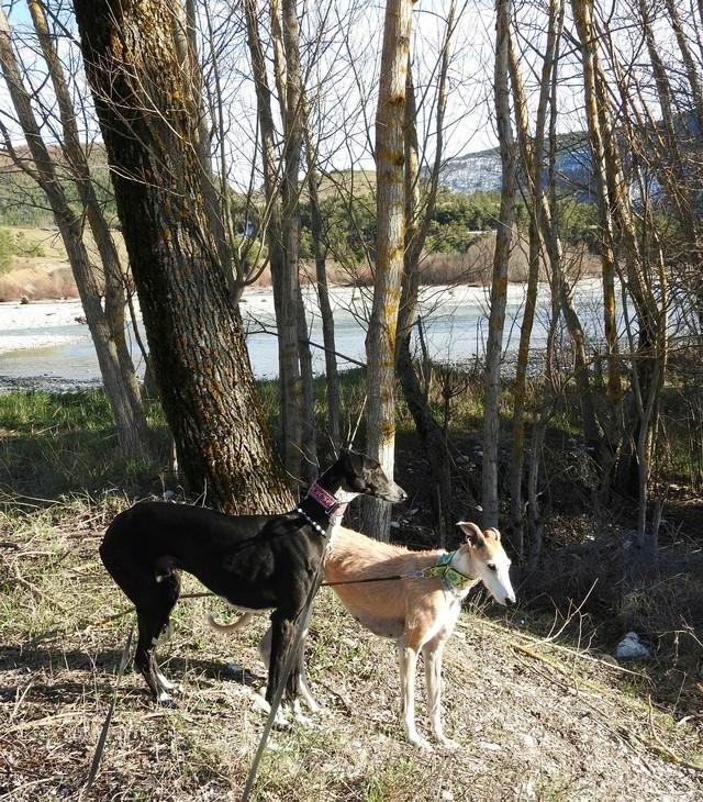 """Léonn galgo noir à l'adoption """"Scooby France """" Adopté  - Page 3 Dscn6714"""