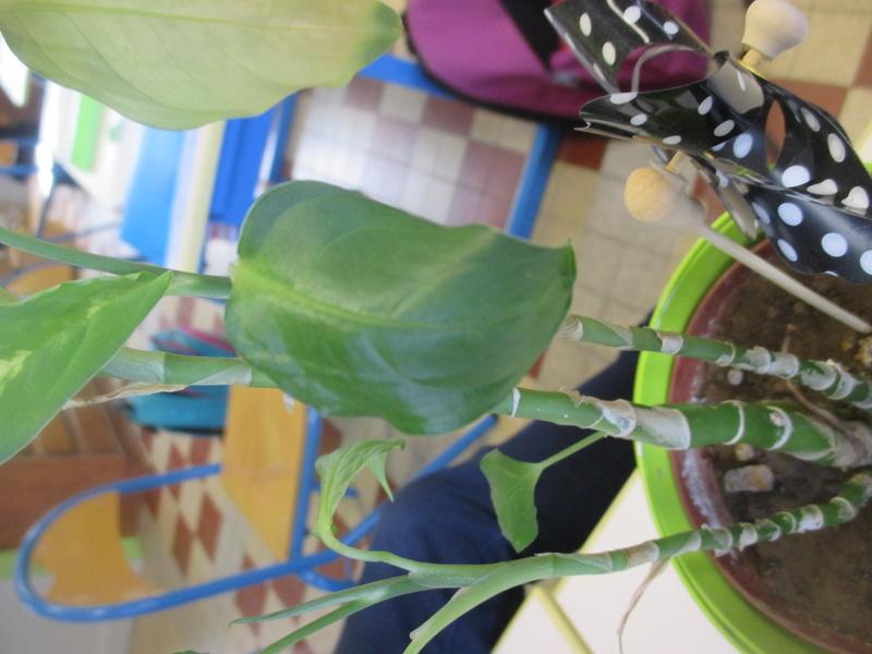 Plante à identifier   Dieffenbachia Inc210
