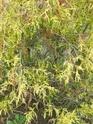 renseignement conifères et arbres Dscn0621