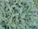 renseignement conifères et arbres Dscn0623