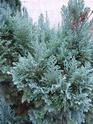 renseignement conifères et arbres Dscn0625