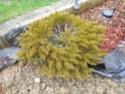 renseignement conifères et arbres Dscn0626