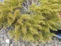 renseignement conifères et arbres Dscn0627