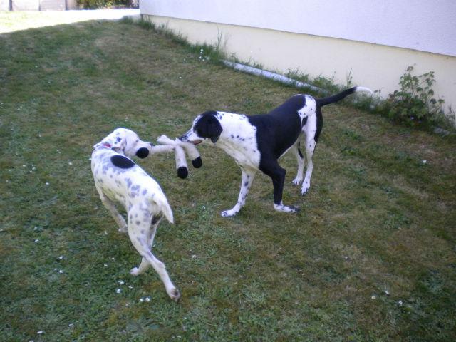 IGLOO Croisé dalmatien  2wpnh810