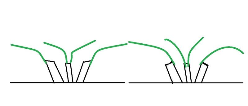 Poda de renovación Dibujo10