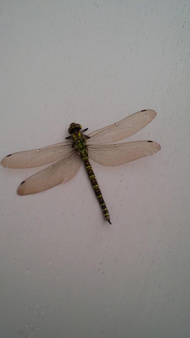 Le monde merveilleux des insectes - Page 2 Libell10
