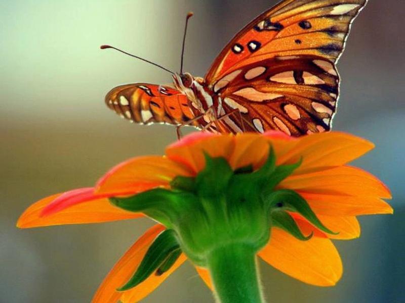 Le monde merveilleux des insectes Papill18