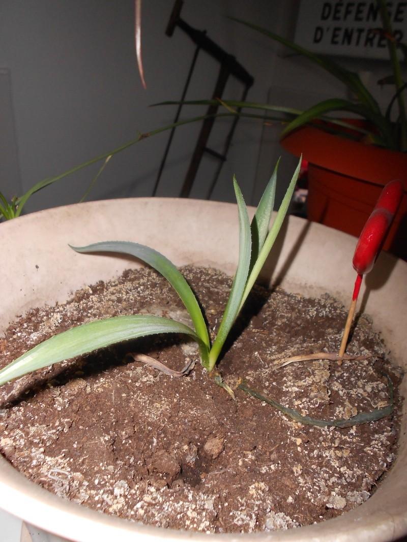 amateurs de cactus et plantes ?  Dscn7830