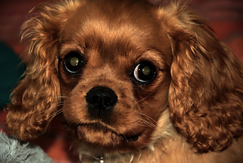 Le Cavalier King Charles Spaniel - Page 2 _dsc2721