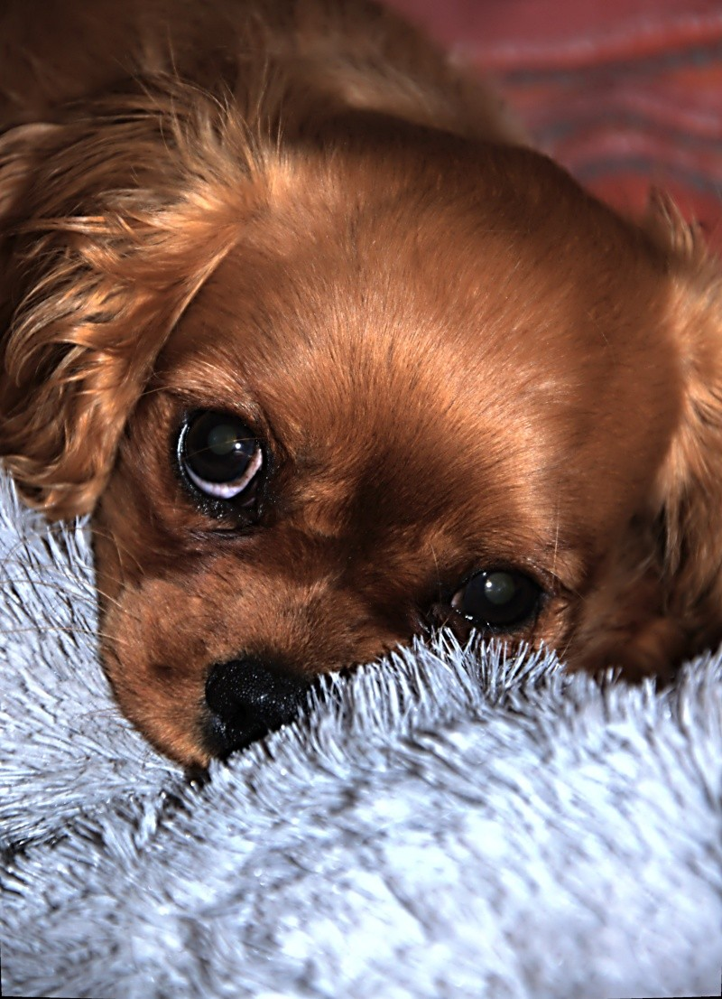 Le Cavalier King Charles Spaniel - Page 2 _dsc2722