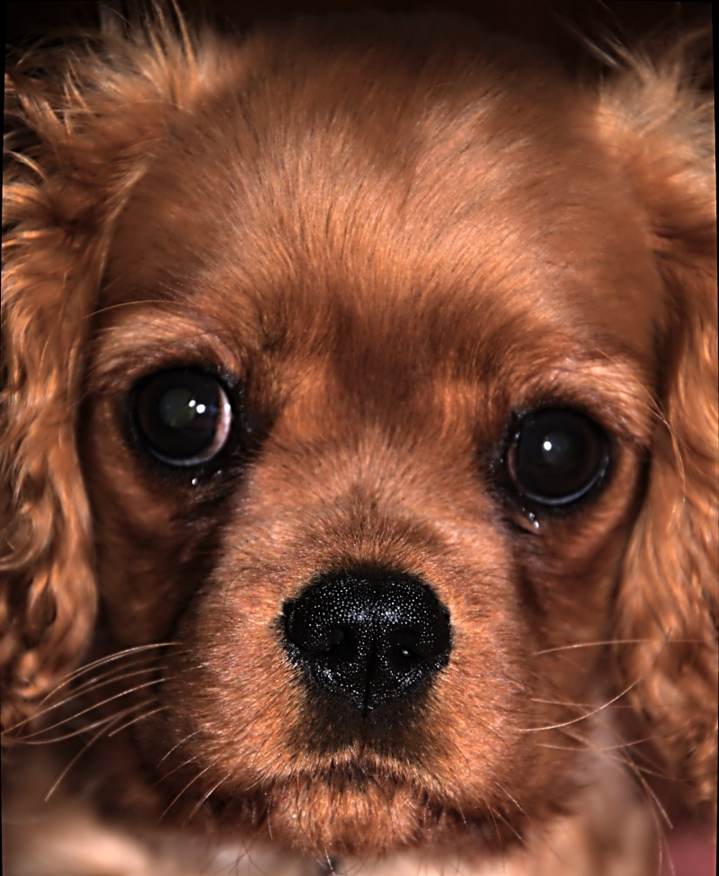 Le Cavalier King Charles Spaniel - Page 2 _dsc2723
