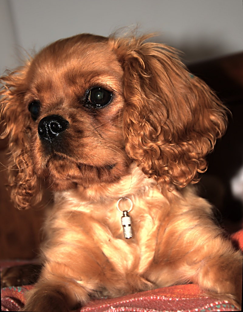 Le Cavalier King Charles Spaniel - Page 2 _dsc2724