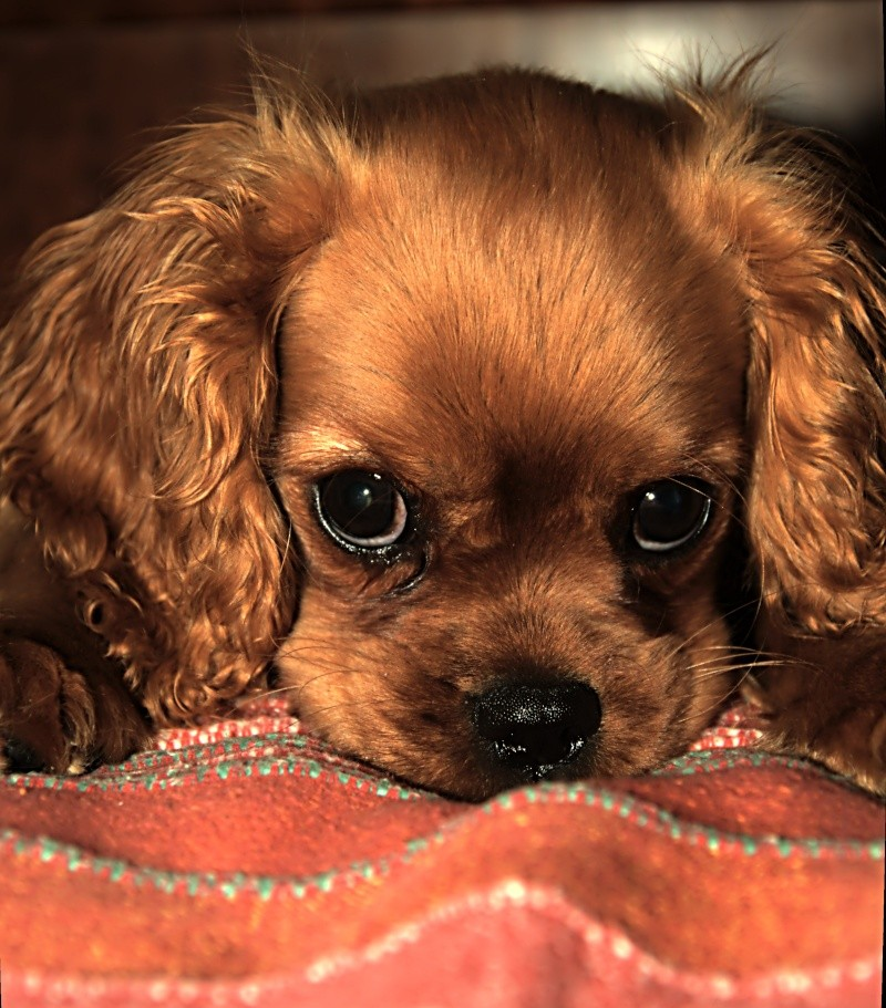 Le Cavalier King Charles Spaniel - Page 2 _dsc2725