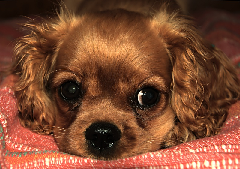 Le Cavalier King Charles Spaniel - Page 2 _dsc2726
