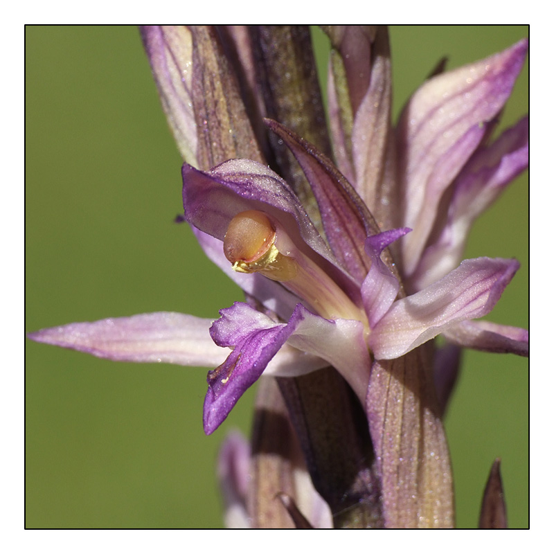 L. abortivum déjà en fleur en Dordogne ! L_abor11