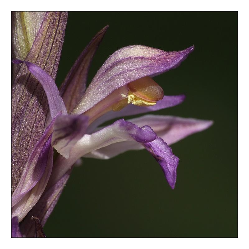 L. abortivum déjà en fleur en Dordogne ! L_abor13