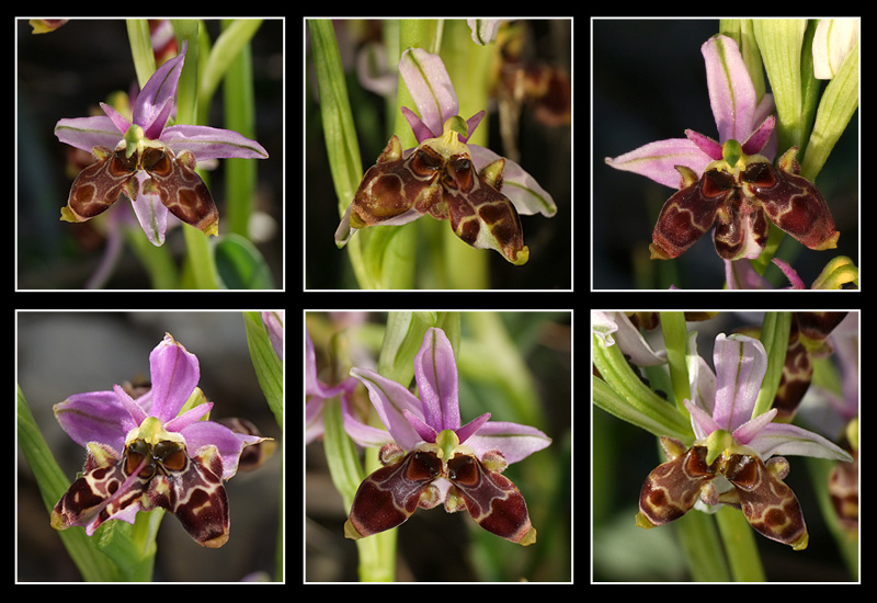 Ophrys scolopax Mosaiq10