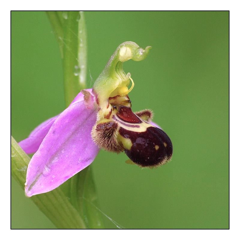 Ophrys apifera formes avec clés de recherches... O_apif11