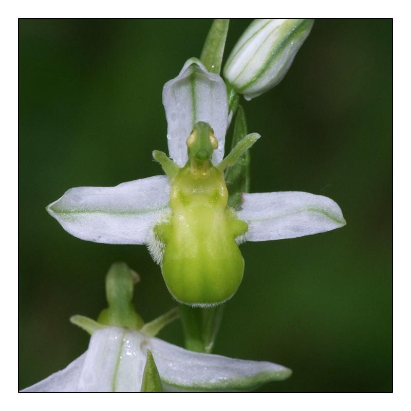 Ophrys apifera formes avec clés de recherches... O_apif14
