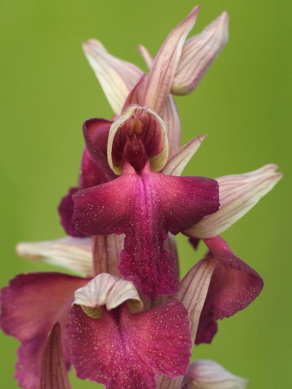 A. morio x S. vomeracea (x Serapicamptis fontanae) Y_sera21