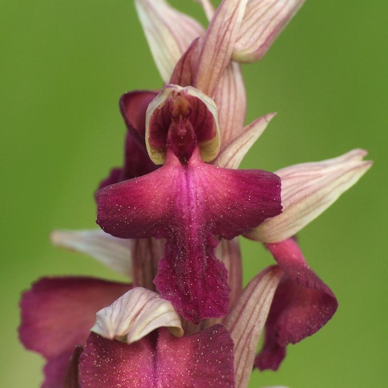 A. morio x S. vomeracea (x Serapicamptis fontanae) Y_sera23